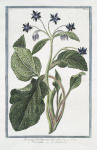 Borrago, floribus cæruleis = Borragine = Bourrache. [Burros, Napatara, Vurrani, Burage, Grass de the cake, Burraxi.]