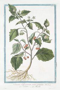 Solanum Officinarum, acinis puniceis = Solatro = Morelle.