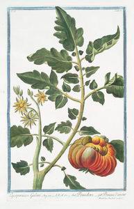 Lycopersicon Galeni = Pomidoro... Digital ID: 1125092. New York Public Library