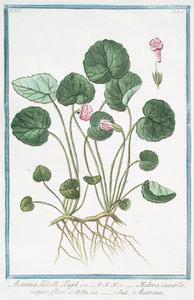 Asarina Lobelli Lugd = Hedera saxatilis, magno flore = Asarina. [Snapdragon]