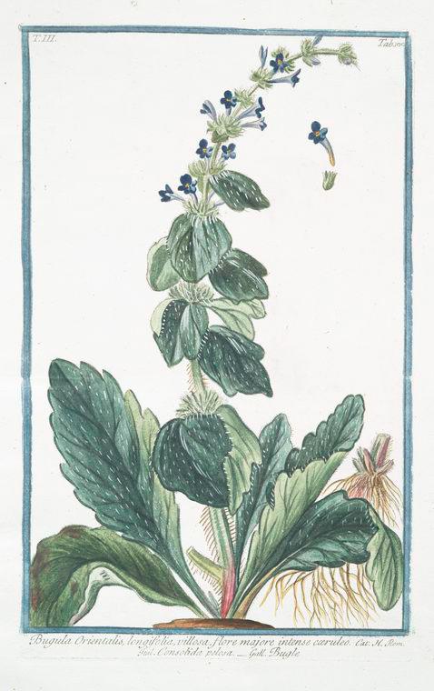 This is What Giorgio Bonelli and Bugula Orientalis longifolia villosa flore majore intense coeruleo = Consolida pelosa = Bugle Looked Like  in 1772