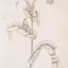 Prickly sow thistle. Sonchus asper.