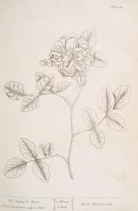 The damask rose.
