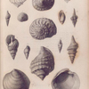 Fossil shells; Pliocene tertiary period.