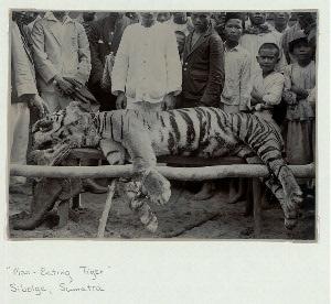 """""""Man-eating tiger"""", Sibolga, Sumatra."""