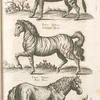Zebra Indica, Indianisck Maulthier; Equus Indicus, Indianisck Pferd; Equus Hirfutus, Rauh Pferd.
