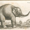 Elephas; Elephant.