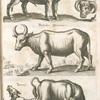 Bonasus munister, Wild Ochsen geschlecht; Bubalus africanus; Taurus.