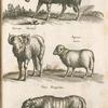 Aries, Weider; Vervex, Hamel; Agnus, Lam; Ovis Peregrina.