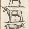 Cerva, Hinde; Colopus; Rupicapra, Gems.
