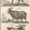 Ibex, Steinbock; Capra Lÿbica; Flirus.