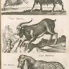 Capra Canis; Capra, Geiss; Caper Hispanicæ; Capra Mambrina, Caper Mambrinæ.