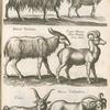 Hircus, Bock; Rupicapra; Dama Veterum; Caper Mumon dictus Bubalæ Cerus Aldr; Culor; Hircus Cotilardicus.