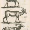 Capreolus, Rehe; Capreolus marinus; Capra.