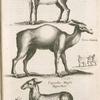 Gazella; Cervo-Camelæ; Capreolus Moschi Bisemthier.