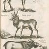 Pÿgargus, Weiss Zars; Tragelaphus, Pÿgargi Species; Hippelaphus Foemina.