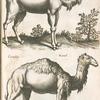 Dromedarij; Camelus, Kamel.