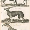 Lea Capra; Ouis Cretensis; Camelo-pardalis.