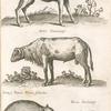 Ovis Peruana; Aries Guineensis; Zainæ, Tajacu, Porcus Sÿlvester; Porcus Guineensis.