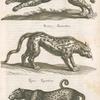 Pardus, Leopardus, Parderthier Leopard; Pardus, Parderthier; Tigaris, Tigerthier.