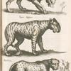 Lÿnx, Luchs; Tigaris Gesneri; Panthera.