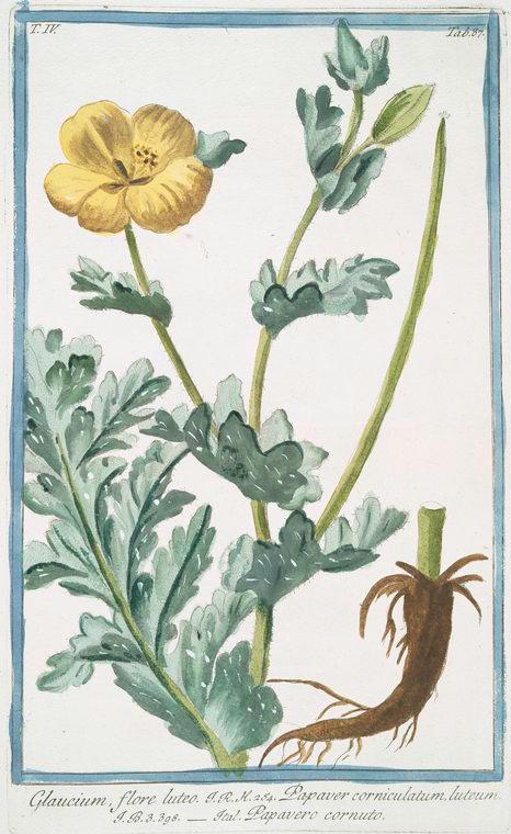 This is What Giorgio Bonelli and Glaucium  flore luteo = Papaver corniculatium luteum = Papavero cornuto. [Yellow horned poppy flower] Looked Like  in 1772