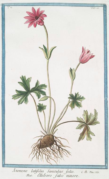 This is What Giorgio Bonelli and Anymone latifolia Saniculae folio = Elleboro falso minore. [Flat-leaf Anemone] Looked Like  in 1772