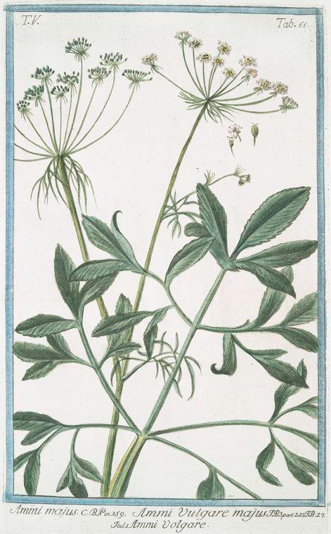 This is What Giorgio Bonelli and Ammi majus = Ammi Vulgare majus = Ammi Volgare. [Large Bullwort; Bishops weed] Looked Like  in 1772