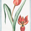 Tulipa coccinea, alberscentibus, oris Eyst. = Tulipano Scarlattino = Tulipe.[Scarlet tulip]