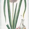 Allium Sphaerico Capite, foliolatiore, sive Scoro-doprasum alterum = Aglio grosso = Ail. [Garlic]