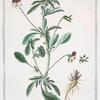 Viola, tricolor hortensis  = Viola di tre color = Violette, Pensée. [Pansey violet]