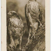 Sparrow Hawks.