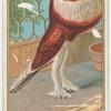 Pouter Pigeon.