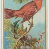 Red Bird.
