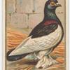 Tumbler Pigeon.
