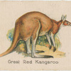 Great Red Kangaroo.