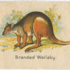 Branded Wallaby.