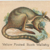 Yellow Footed Rock Wallaby.