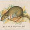 N.S.W. [New South Wales] Kangaroo Rat.