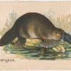 Platypus.
