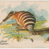 Banded Ant Eater.