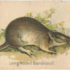 Long Nosed Bandicoot.