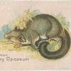 Common Grey Opossum.