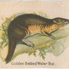 Golden Bellied Water Rat.