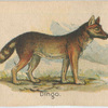 Dingo.