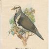 Wonga Pigeon.