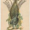 Lyre Bird.