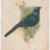 Satin Bower Bird.