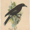 Pied Bell Magpie.