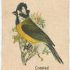 Crested Shrike Tit.